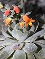 Echeveria-elegans-rose.jpg