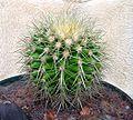 Echinocactus grusonii20050603.jpg