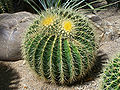 Echinocactus grusonii flora cologne.jpg
