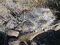 Echinocereus stramineus (5686751724).jpg