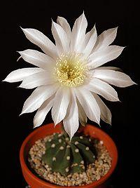 Echinopsis subdenudata203