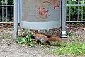 Eichhörnchen (Sciurus vulgaris) Konstantinhügel Wiener Prater 2020-07-12 a.jpg
