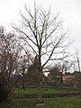 Einheitsbaum Klotzsche (1).jpg