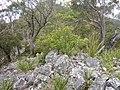 Elaeocarpus reticulatus.jpg