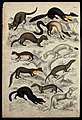 Eleven different specimen of the family of weasels. Coloured Wellcome V0020924ER.jpg