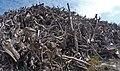 Empilement de souches de pins après désouchage d'une coupe rase 2018 Landes de Gascogne 03.jpg