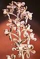 Encyclia vespa.jpg
