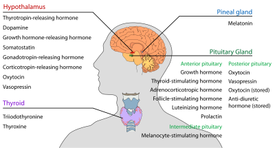 Endocrine central nervous en.svg