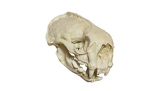 Sea otter - Skull of a sea otter