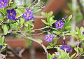 Enzianstrauch (Solanum) (19067530650).jpg