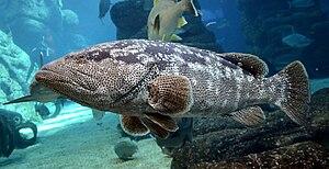 Malabar grouper - Epinephelus malabaricus in uShaka Marine World