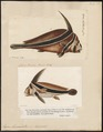 Eques lanceolatus - 1700-1880 - Print - Iconographia Zoologica - Special Collections University of Amsterdam - UBA01 IZ13400095.tif