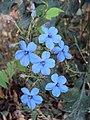 Eranthemum capense at Nedumpoil (19).jpg