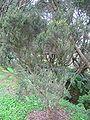 Erica azorica (Habitus).jpg