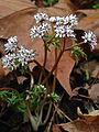 Erigenia bulbosa - Harbinger Of Spring.jpg