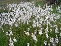 Eriophorum angustifolium 1 (Picos).JPG