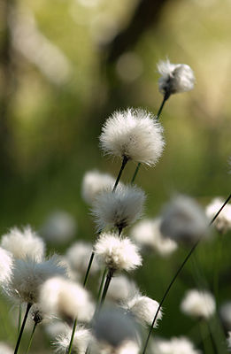 Scheiden-Wollgras (Eriophorum vaginatum).