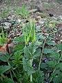 Erodium moschatum-3.jpg