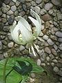 Erythronium 'White Beauty' (flower)1.jpg