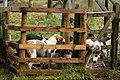 Eskdale and Ennerdale Foxhounds (31181578115).jpg