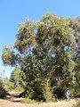 Eucalyptus haemastoma (8044417128).jpg