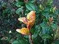 Eugenia koolauensis (5466114268).jpg