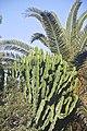 Euphorbia candelabrum-2209.jpg