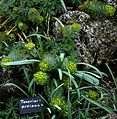 Euphorbia myrsinites - Flickr - peganum (1).jpg