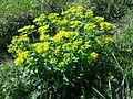 Euphorbia polychroma sl8.jpg
