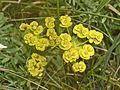 Euphorbiaceae - Euphorbia nicaeensis.JPG