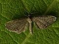 Eupithecia ?pygmaeata - Marsh pug - Цветочная пяденица ясколковая (26077574667).jpg
