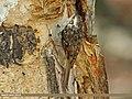 Eurasian Treecreeper (Certhia familiaris) (15709584719).jpg