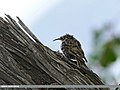 Eurasian Treecreeper (Certhia familiaris) (28449957353).jpg