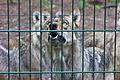 Europäischer Grauwolf (Canis lupus lupus) im Wolfcenter Barme (Dörverden) IMG 8990.jpg