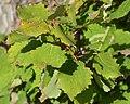European Aspen (Populus tremula) - Oslo, Norway 2020-08-27.jpg