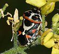 Eurydema ornata1.jpg