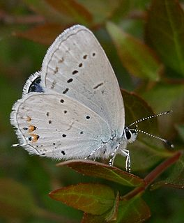 Short-tailed blue species of insect