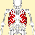 External intercostal muscles above.png