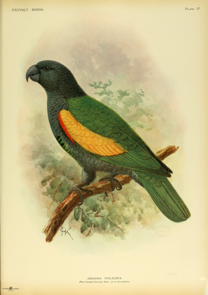 http://upload.wikimedia.org/wikipedia/commons/thumb/9/96/Extinctbirds1907_P17_Amazona_violaceus0315.png/424px-Extinctbirds1907_P17_Amazona_violaceus0315.png