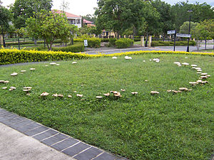 Fairy ring - A fairy ring on a suburban lawn in Brisbane, Queensland, Australia