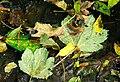 Fallen leaves, Drumbridge near Dunmurry - geograph.org.uk - 1518674.jpg