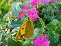 Farfalla su fiore - panoramio.jpg