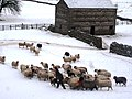 Feeding the sheep in Burtersett - geograph.org.uk - 1718673.jpg
