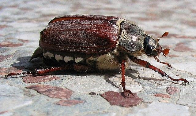 Хрущ (Западный майский жук), источник Википедия