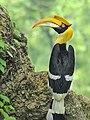 Female Great Hornbill by Shantanu Kuveskar.jpg