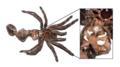 Female Tarantula Molt.png