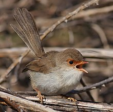 a small pale brown bird with a gaping orange beak, on twig-like foliage