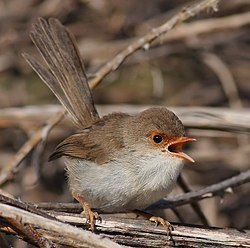 Female superb fairy wren-edit1.jpg