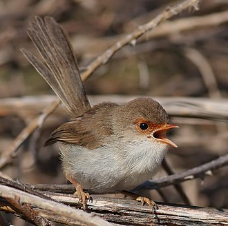 Superb fairywren - Female – Victorian High Country