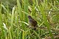 Fernbird (Mātātā) among.jpg